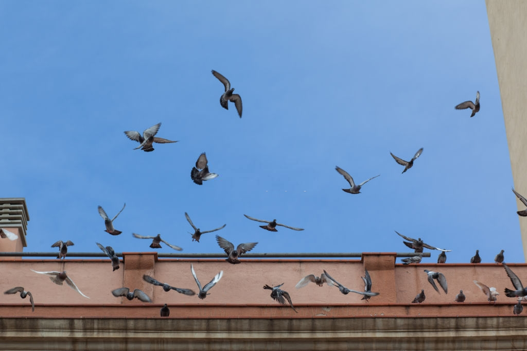 Pigeon Pest, Pest Control in Notting Hill, W11. Call Now 020 8166 9746