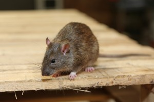 Rodent Control, Pest Control in Notting Hill, W11. Call Now 020 8166 9746